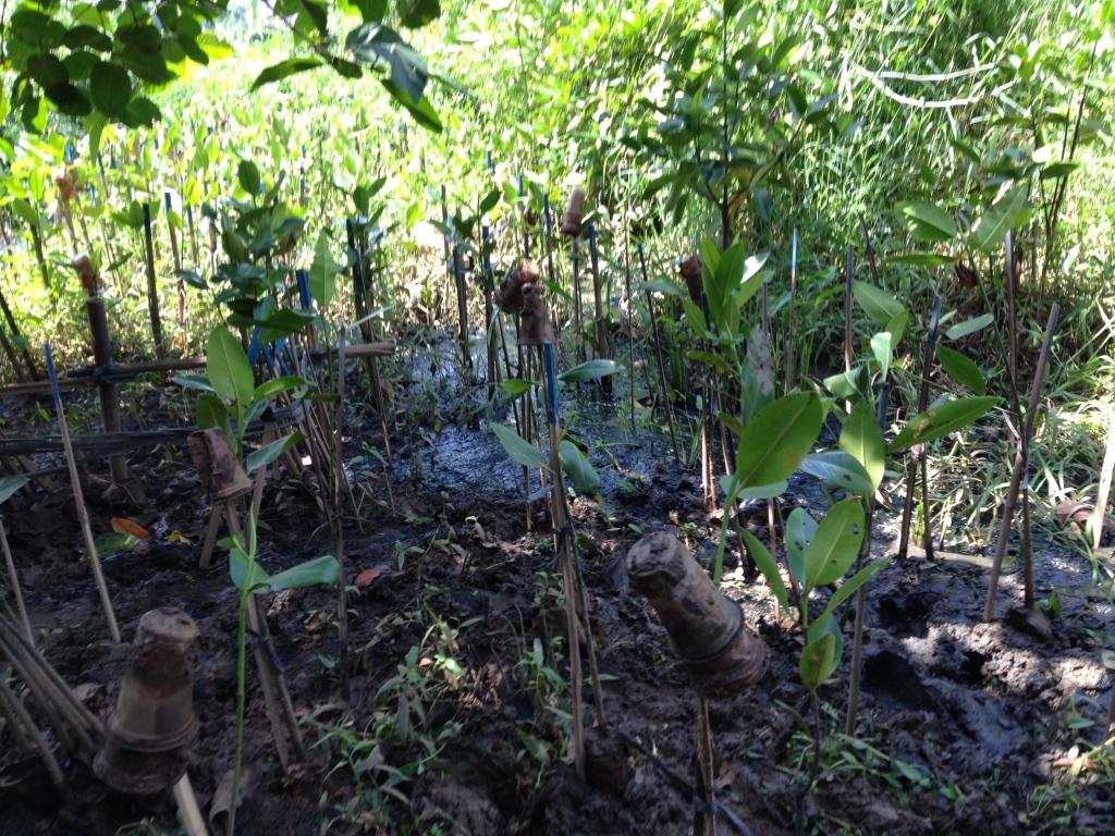 Plantin' mangroves.